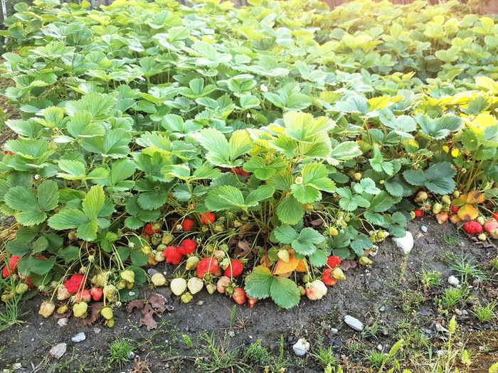 High angle view of berries growing on plant at field