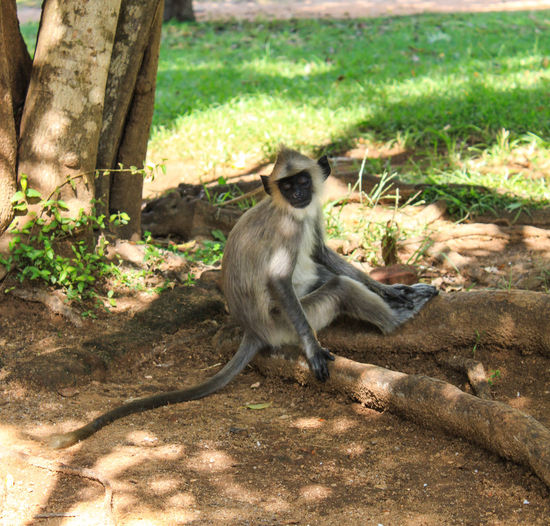 Animal Themes Animal Wildlife Animals In The Wild Day Grey Langur Monkeys Mammal Monkey Nature No People One Animal Outdoors Sitting Sitting In The Shade Sri Lanka Under The Tree Wildlife