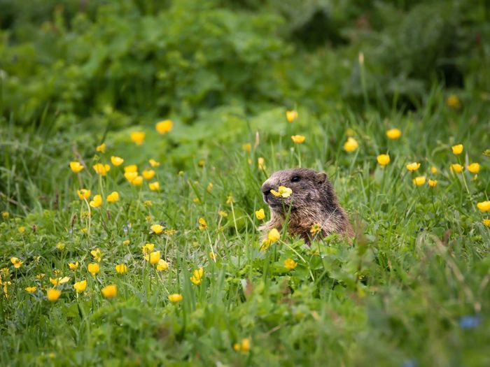 Marmot looking away amidst grassy field