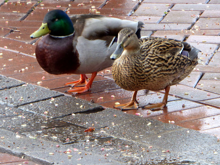 Beauty On A Rainy Day😍citylife Ducks Whereever I Go Ducks Watching People Springtime💛 For My Friends 😍😘🎁 Capture The Moment Animals In The Wild Animal Themes Citytrip Meeting Ducks In The City Auf Augenhöhe Eye4photography  Simple Beauty Enjoying The View Celebrate The Little Things Beauty In Nature