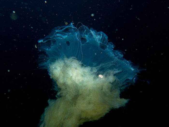 Black Background Close-up Jellyfish Jellyfish Gallery Motion Nature No People Ocean UnderSea Wildlife & Nature