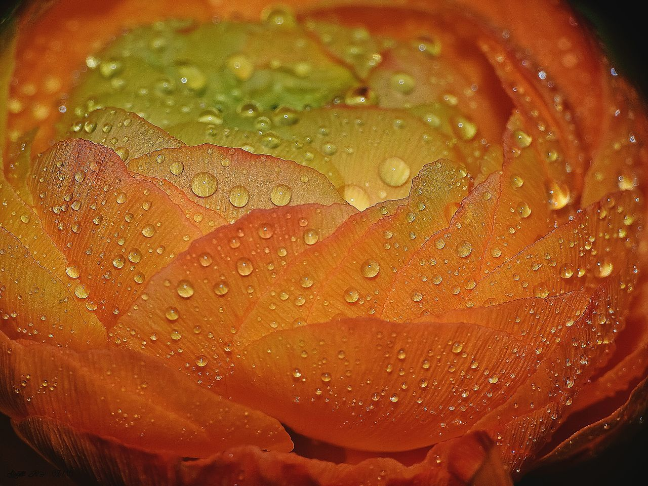 drop, water, wet, nature, freshness, growth, fragility, close-up, raindrop, petal, no people, beauty in nature, leaf, flower, day, flower head, outdoors