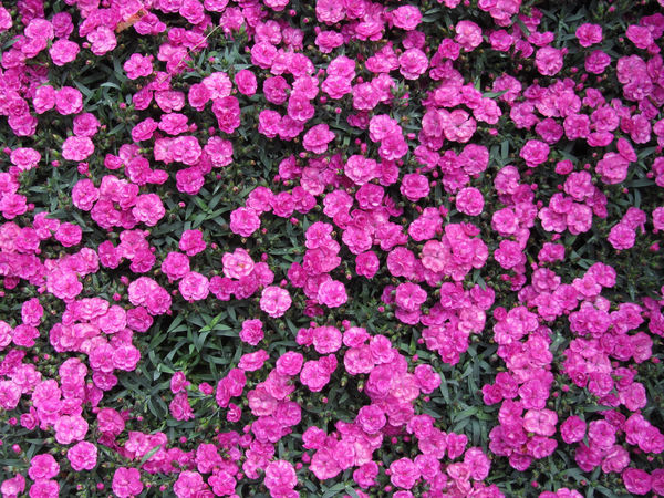 Natural background of purple carnation flowers Anniversary Background Bloom Blooming Blossom Bud Carnation Carpet Dianthus Dianthus Caryophyllus Field Flora Floral Flower Flower Carpet Growth Love Natural Petal Plant Purple Romantic Spring Stem Wedding