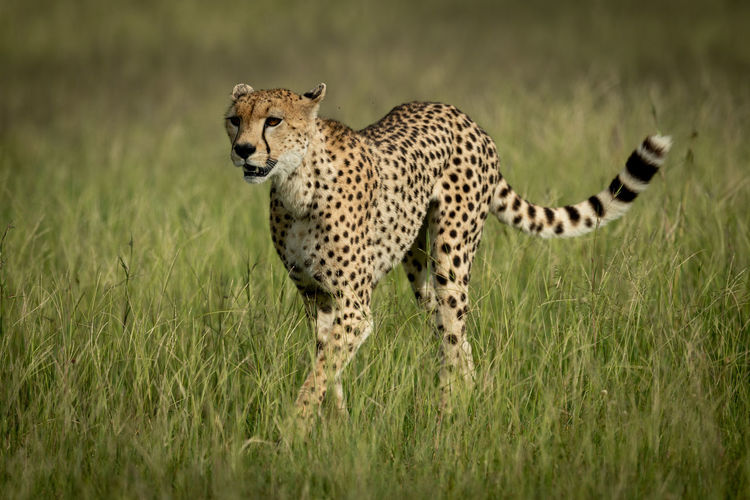Cheetah standing on land in forest