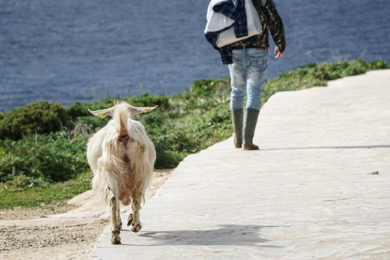 Rear view of goat walking on footpath