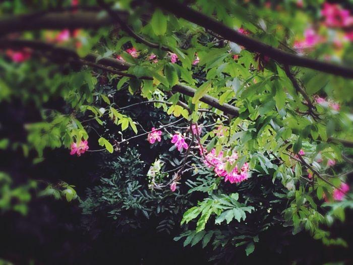 冬日的樱花木棉