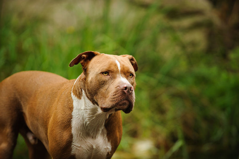American Pit Bull Terrier dog outdoor portrait Horizontal Nature Pit Bull Animal Themes Brown Close-up Day Dog Domestic Animals Focus On Foreground Mammal Natural Ears Nature No People One Animal Outdoors Outside Pets Photograph Pit Bull Terrier Pitbull Portrait Terrier Uncropped Ears