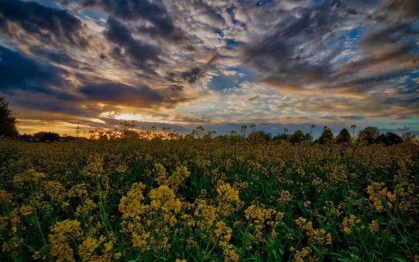 Flower Sunset Plant Field Nature Dramatic Sky Beauty In Nature Rural Scene Macro Cloud - Sky Growth Crop  Tranquil Scene Backgrounds Freshness Multi Colored Sky Uncultivated Agriculture Landscape