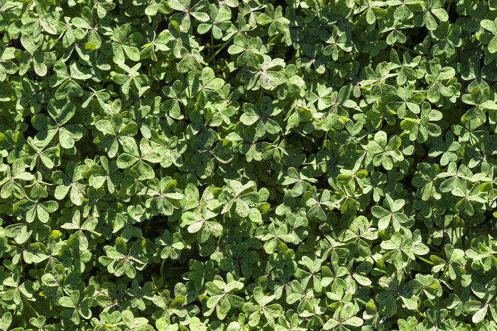 Clovers 01 Abundance Backgrounds Beauty In Nature Close-up Clover Clover Field Cloverleaf Clovers  Day Detail Full Frame Green Green Color Growing Growth Leaf Leaves Lush Foliage Natural Pattern Nature Outdoors Plant Repetition Still Life Textured