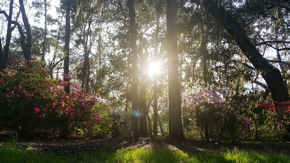 Tree Growth Nature No People Beauty In Nature Low Angle View Outdoors Backgrounds Tranquility Day Sky Freshness Fragility Petal Growth Tranquility EyEmNewHere Azalea Blossoms Awaken Low Angle View Sunrays Sunlight Sunbeam Branch Tranquil Scene EyeEmNewHere