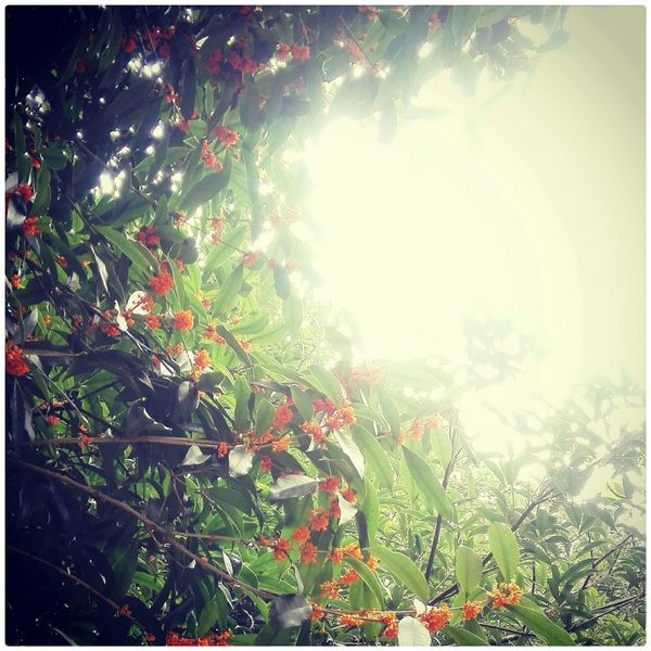 Given Osmanthus The Mid-Autumn Festival Hello World Flowers Natural Beauty