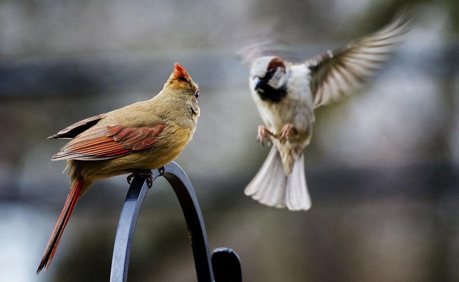 Only room for one Northern Cardinal Female Animal Animal Themes Animal Wildlife Animals In The Wild Bird Close-up Focus On Foreground Group Of Animals Nature No People Perching Selective Focus Sparrow Togetherness Two Animals Vertebrate