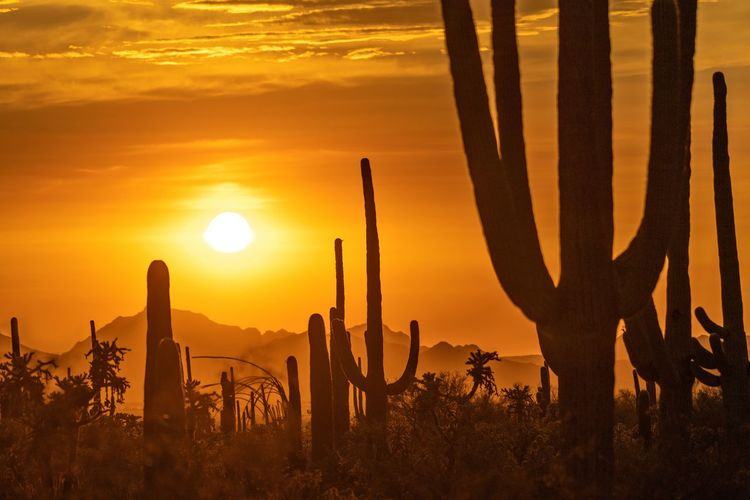Silhouette cactus plants on field against orange sky