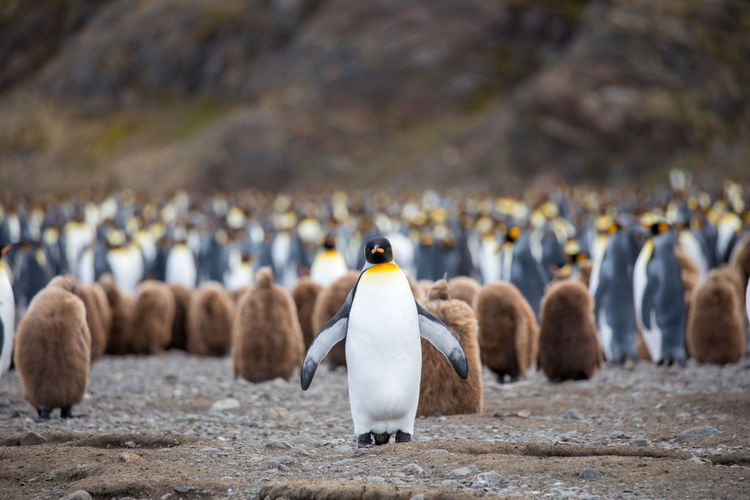 Animal Animal Themes Animal Wildlife Animals In The Wild Bird Day Focus On Foreground Group Of Animals Land Large Group Of Animals Nature No People Outdoors Pebble Penguin Rock Rock - Object Solid Togetherness Vertebrate Water