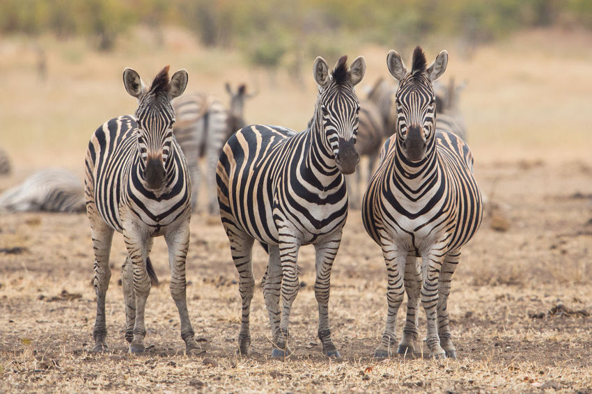 Three zebras, Kruger Park, South Africa Africa Animals Black & White Black And White Equus Quagga Herbivorous In A Row Kruger Kruger Park Looking At Camera Nature Prey Safari Savannah South Africa Striped Pattern Three Together White Wildlife Zebra