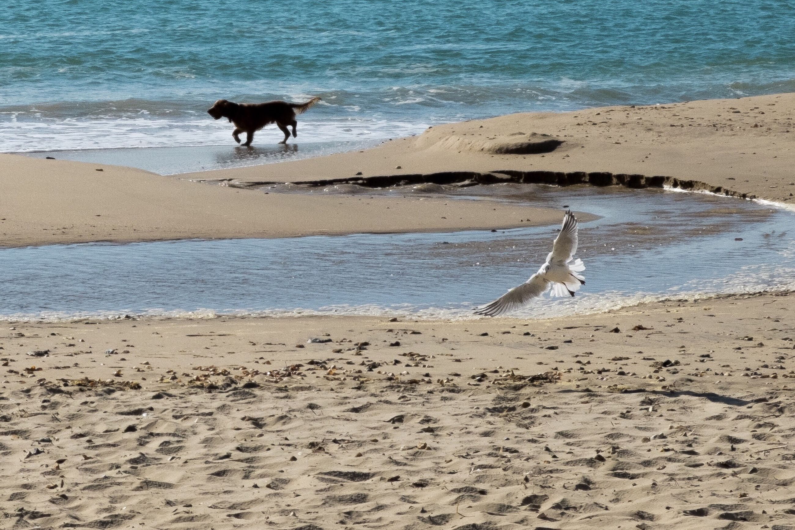 beach, sea, water, sand, animal themes, shore, one animal, horizon over water, mammal, wave, nature, tranquility, surf, tranquil scene, domestic animals, beauty in nature, day, animals in the wild, dog, scenics