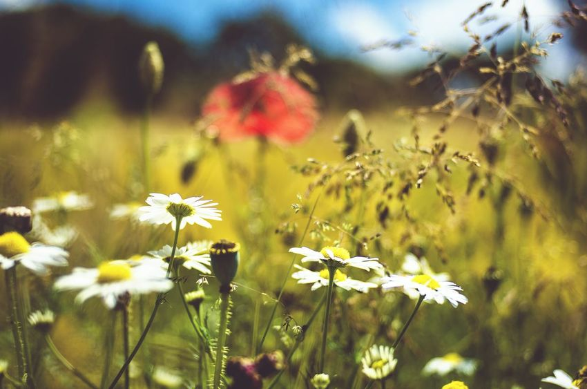 Summertime Meadow Flowers Germany Nature Photography EyeEm Nature Lover Klaquax@home