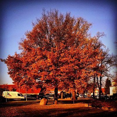 Splendid Autumn Tree Brandenburg Germany Deutschland Europe Insta_international Insta_europe Insta_berlin Igs_world Nature Bluesky