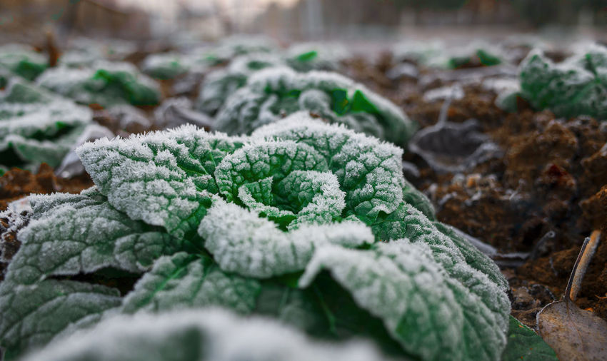 Close-up of frosted plants on field