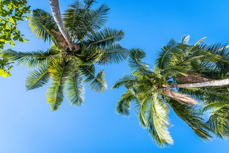 Sky Tree Palm Tree Plant Tropical Climate Growth Clear Sky Low Angle View Blue Green Color No People Beauty In Nature Tree Trunk Trunk Nature Tranquility Day Palm Leaf Outdoors Tall - High Coconut Palm Tree Tropical Tree