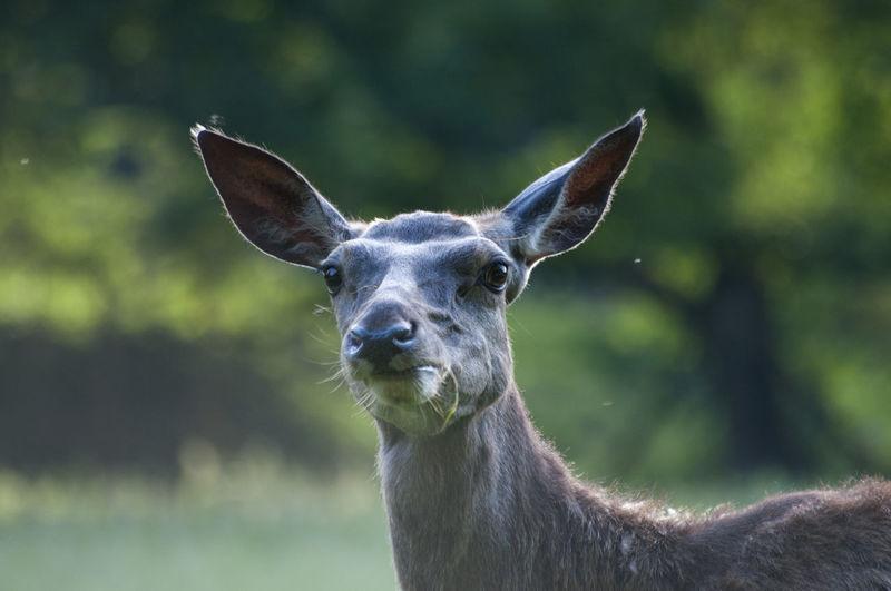 Deer Animal
