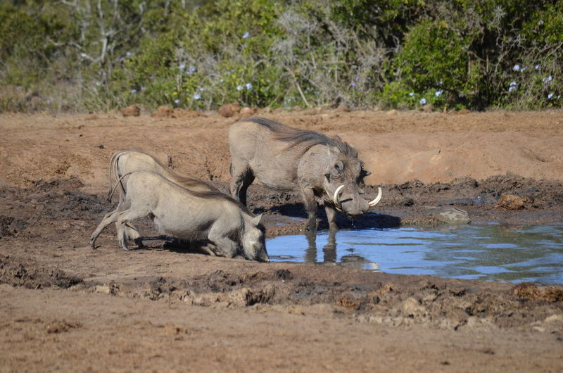 Warthogs drinking water from puddle at addo elephant national park