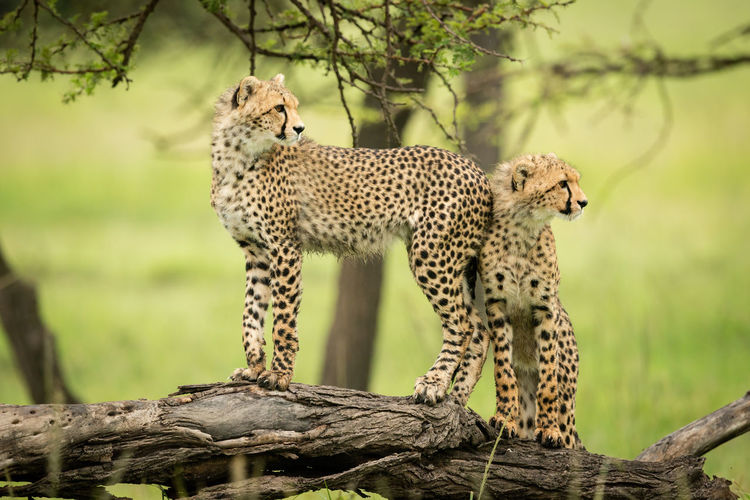Two cheetah cubs stand on dead log