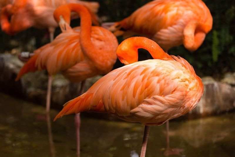 flamingo Orange Color Focus On Foreground Close-up No People Water Animal Themes Animals In The Wild Animal Nature Group Of Animals Outdoors Flamingo