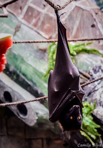 Animal Wildlife Animals In The Wild Bat Bat Cave Bat Hanging Bat Wings Day Hanging Tree