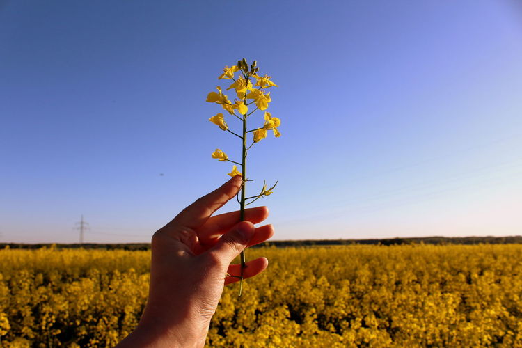 Cropped hand holding oilseed rape plant against sky on field