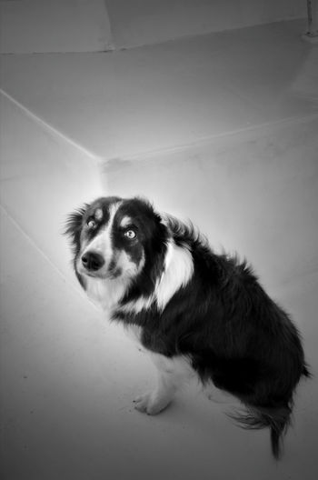 border collie in black and white Border Collie Black And White One Animal Dog No People Portrait Standing High Angle View Looking Up Cute Sitting Looking Flooring Domestic Canine My Best Photo