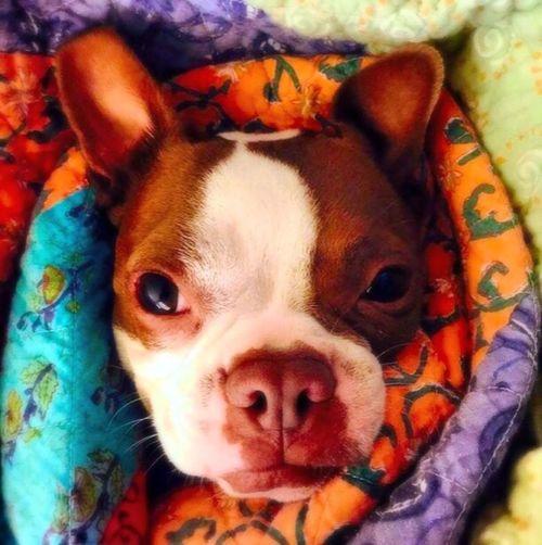 Radon Boston Terrier Vikki Bradley O'Keefe Art