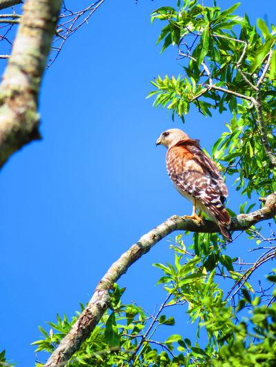 Wild hawk against clear blue sky Florida Hawks Bird Perching Tree Branch Blue Clear Sky Sky Bird Of Prey Tropical Bird Hawk - Bird Hawk