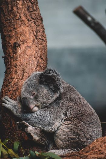 Koala Zürich Zoo Koala Animals In The Wild Solid Gray Close-up Animal Wildlife Day Sleeping Domestic Domestic Animals Canine Pets High Angle View Resting