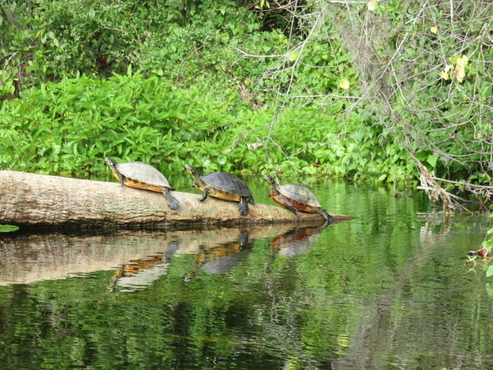 Animal Themes Animals In The Wild Beauty In Nature Day Floating On Water Grass Green Color Growth Lake Nature Nautical Vessel No People Outdoors Plant Reflection Reflection Scenics Three In The Dark Triptych Series Tranquil Scene Tranquility Tree Turtle Turtles Water Waterfront