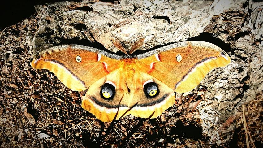 Polyphemus Day Outdoors Close-up Textured  Pattern Moth No People Nature Pet Portraits