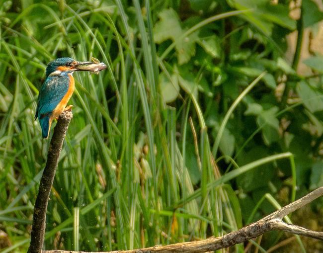 Kingfisher carrying fish in beak on stick