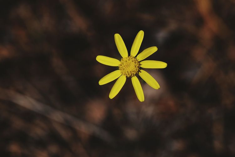 Flower Yellow Fragility Plant No People Nature Beauty In Nature Flower Head Outdoors Day Close-up Freshness Springtime Petals Of Flowers Yellow Flower Yellow Petals Beauty Fragile Beauty