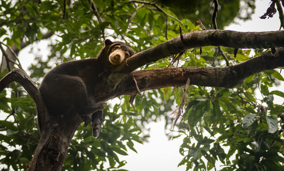 Bear Sun Bear Animal Themes Animal Wildlife Animals In The Wild Beauty In Nature Branch Close-up Day Hangover Looking At Camera Low Angle View Malaysian Mammal Moody Nature No People One Animal Outdoors Portrait Sitting Sleep Deprived Tired Tree Tree Trunk