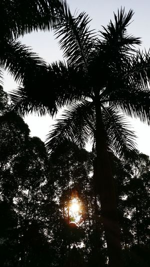 No People Tree Nature Beauty In Nature Sky Low Angle View Palm Trees ❤❤ Palm Tree Silhouette Sunset Close-up Treetop Silhouette Back Lit EyeEm Best Shots My Unique Style EyeEm Gallery Getting Inspired EyeEm Best Shots - Nature The Week Of Eyeem Original Experiences Artistic Expression EyeEm Nature Lover Popular Photos Light And Shadow Sunbeam
