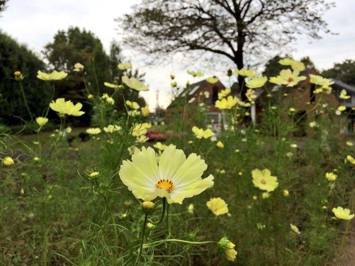 コスモス 公園 相模原公園 秋 Autumn 花 Flowers Cosmos Japan Park
