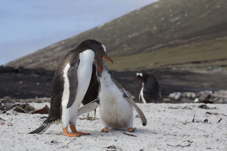 View of penguins on beach