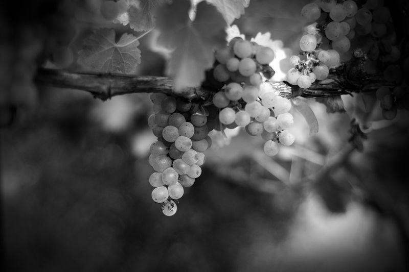 Grapes on Grapevine Beauty In Nature Black And White Blossom Branch Bud Close-up Focus On Foreground Fragility Freshness Grape Vine Foliage Grape Vines Grapes Growth Leaf Leaves Nature No People Outdoors Plant Selective Focus Vineyard Art Is Everywhere