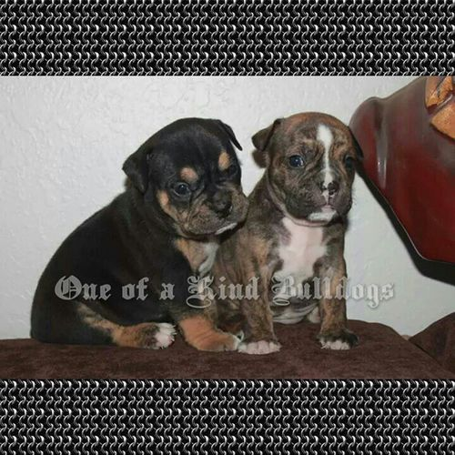 Available Oldeenglishbulldogge Puppies These are both males, pictured at 3.5 weeks. Taking deposits. Please check our website for information about us and our puppies. Oneofakindbulldogs Oldeenglishbulldogges oldenglishbulldogs oldenglishbulldog premierbreeder oeb oebpuppies puppiesforsale cute bulldogs bulldog bulldogges keepitbully staybully bullylife SanDiego SoCal californiadreamin SD igbulldogs bulldogsofinstagram dogsofinstagram insta_dog puppies victorianbulldogs bulldogpuppies