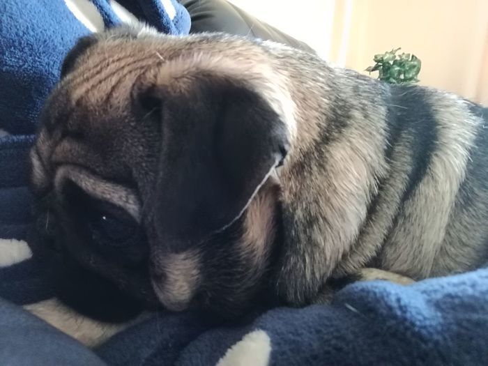 Close-up Pug Life ❤ Pumba Mycuteboy Bundle Of Joy