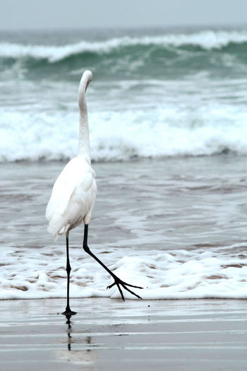 Whimsical Animal Themes Animal Wildlife Animals In The Wild Beach Beauty In Nature Bird Day Egret Egret With Ocean Background Nature No People Ocean One Animal Outdoors Sea Water Waterfront White Bird Of Paradise