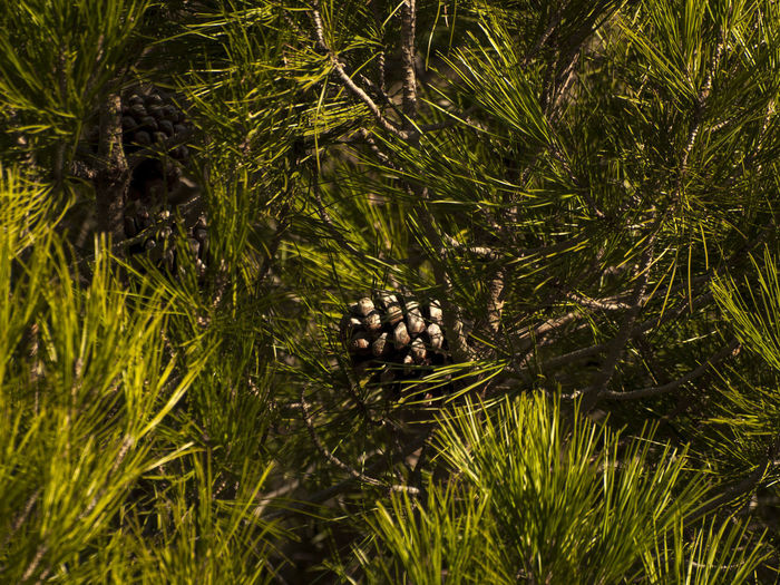 Pine Pinus Tree Backgrounds Botany Branch Camouflage Day Environment Forest Fruit Grass Hippopotamus Nature No People One Animal Outdoors Pine Cone Pine Tree Pine Woodland Pinecone Pinus Pinea Pinustree Stone Pine Stone Pine Cone