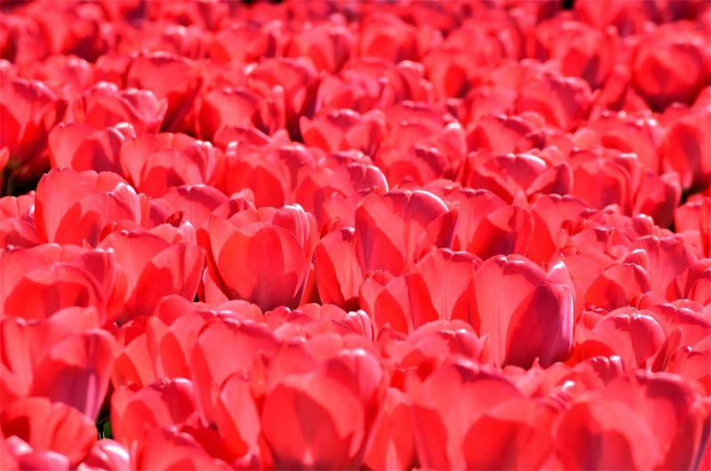 Keukenhof Red