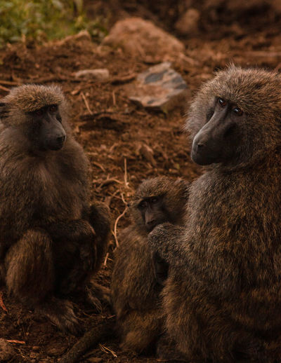 Mammal Animals In The Wild Animal Wildlife No People Day Baboon Baboons Grooming Baboon Portrait Africa Nairobi Kenya