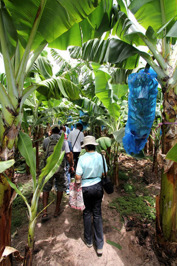 Banana Orchard in Jamaica Banana Banana Growing Blue Bag Banana Orchard Banana Bunch Banana Tree Jamaica Tropical Fruit